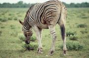 Bei so vielen Löwen (wir sahen u.a. auch ein ruhendes Rudel von 9 Tieren) und Hyänen ist nicht erstaunlich, dass Huftiere ein gefährliches Leben führen. Dieser Zebrahengst ist wohl gerade noch einmal davongekommen. Er schien durch die Wunden geschwächt.