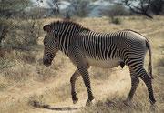 Die Grevy-Zebra-Hengste führen ein eher einzelgängerisches Dasein (Samburu)