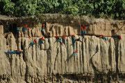 Und dann gibt es noch eine weitere Funktion: Diese Vögel, welche in dem Waldgebiet weit auseinander wohnen, kommen einmal im Tag auf engem Raum zusammen und Jungvögel haben dort viel Gelegenheiten Artgenossen des anderen Geschlechts kennen zu lernen.