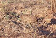 Hier dürfte es sich um das Swainsonsfrankolin (Francolinus swainsonii) handeln, die einzige Frankolinart mit roter Kehle, schwarzen Beinen und schwarzem Schnabel. (Beim ähnlichen Rotkehlfrankolin [Francolinus afer], sind die Beine und der Schnabel rot).