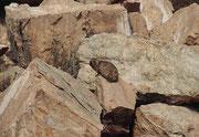 Bei der Wanderung sahen wir auch diesen Klippschliefer (Procavia capensis) beim Sonnenbad. Er ist  2 - 4,5 kg schwer, etwa murmeltiergross und  zoologisch der nächste Verwandte der Elefanten und Seekühe. Er frisst Pflanzen und zwar nur etwa 1 Std pro Tag.