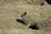 Bei den Viscachas entdeckten wir noch ein zweites, wesentlich kleineres Tierchen. Der Direktor des Zoos von Santiago, half mir dann aufgrund der Bilder die Art zu bestimmen: Es handelt sich um eine Bolivianische Grossohrmaus (Auliscomys boliviensis).