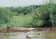 Nilkrokodil (Crocodylus niloticus)(Lake Baringo)