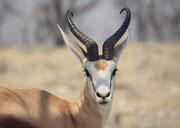Kopf eines Springbocks (Antidorcas marsupialis) mit einem ausserordentlich kräftigen Gehörn.