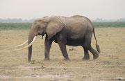 Im Amboseli NP sind die Elefanten berühmt für ihre enormen Stosszähne (hier eine Kuh). Der Grund dafür ist offenbar das geringe Ausmass der Wilderei.