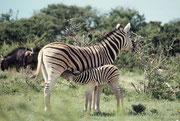 Hier sieht man deutlich die leicht braunen Zwischenstreifen und die fast weissen Beine, die für die Unterart des Burchell Zebras charakteristisch sind.