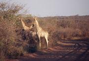 Einige der Giraffen (Giraffa camelopardis giraffa), die wir auf dem Waterberg Plateau antrafen waren fast weiss, jedenfalls aussergewöhnlich hell.