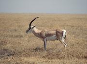 Ein Grant Gazellen Bock (Nanger granti). Während die Gnus und Zebras die Serengeti im Juli nach Norden gegen den Masai Mara NP in Kenya verlassen, bleiben die Grant Gazellen zurück (sie benötigten fast kein Wasser). Ruhende Böcke stellen sich sichtbar hin