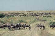 Der Masai Mara NP (Kenia) liegt direkt nördlich des Serengeti NPs (Tansania), nur getrennt durch den Fluss Mara. Seit Jahrhunderten ziehen grosse Herden von Gnus und Zebras alljährlich gegen Ende Juli von der Serengeti nordwärts in den Masai Mara.