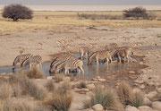 """Zebras und Springböcke bei der Wasserstelle """"Salvadora"""" am Rande der Etosha-Pfanne."""