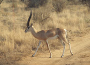 Grant Gazellenbock (Nanger granti) in bester Kondition (Samburu)