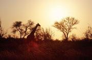 Solche scherenschnittartigen Bilder im Abendlich kann man in afrikanischen NPs kaum machen, weil der Park nach Sonnenuntergang nur den Tieren gehört. Effektiv werden die Autostrassen dann von den Wildtieren richtiggehend in Beschlag genommen.