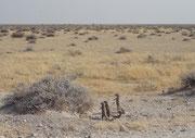 Auf dem Ausflug ins Gebiet westlich von Okaukuejo sahen wir diese Tierchen und freuten uns, endlich Erdmänchen (Suricata suricatta) entdeckt zu haben. Näher bei ihnen stellten wir jedoch fest, dass es sich um Kap-Borstenhörnchen (Xerus inauris) handelte.