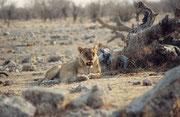 """Am Abend, bei der Wasserstelle """"Goas"""", legte sich eine Löwin unmittelbar vor unserem Auto auf die Erde. Wenig später nahte sich von rechts eine grosse Gruppe Impalas, welche ganz offensichtlich diese Löwin nicht wahrnahmen."""