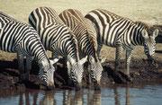 An derselben Wasserstelle fanden sich bald auch einige Grant- oder Böhmzebras (Equus quagga boehmi) ein