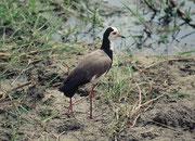 Langzehenkiebiz (Vanellus crassirostris) (Amboseli)