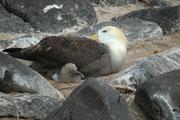 Galapagosalbatrosse bauen kein Nest, sondern legen ihre Eier (von April bis Juni) direkt auf dem Boden. Zwei Monate später schlüpfen die Jungtiere. Im Dezember sind die Jungtiere erwachsen und verlassen die Kolonie im Januar.