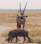 Ein Warzenschwein, aufmerksam beobachtet von einer Südafrikanischen Oryx (im Gegensatz zur Beisa Oryx (Oryx beisa) in Kenya und Tansania sind ihre schwarzen Streifen an den Beinen, den Körperseiten, der Kruppe und am Kopf viel deutlicher ausgeprägt).