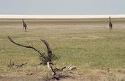 """Jemand hat einmal gesagt, die Giraffen seien die """"Kathedralen Afrikas"""". Dies vor allem dann, wenn ihren grossen, aufrechten Gestalten in einer Ebene auftauchen, wie hier am Ufer des Lake Manyara."""