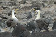 Galapagosalbatrosse sind etwa 80 – 90 cm lang mit einer Flügelspannweite von  220–250 cm und können tagelang über dem offenen Wasser fliegen. Sie haben denn auch ein Verbreitungsgebiet von 1,750,000 km2 und ein Brutgebiet von nur 9 km2. ( Espanola !)