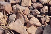 Bei jedem kurzen Halt am Strassenrand untersuchten wir die Steinhaufen und Büschchen in der Nähe und stellten fest, dass sie von diversen Reptilienarten bewohnt waren. Hier eine schlanke Eidechse (die Art konnte ich nicht bestimmen).