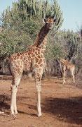 Zur Giraffengruppe gehörte auch dieses hübsche Jungtier. Wie immer, ist die Art, bzw. Unterart nicht leicht zu bestimmen. Vom Beobachtungsort her müsste es sich um die Südafrikanische Giraffe (Giraffa cameleopardis giraffa) handeln.