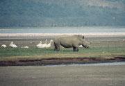 Im Lake Nakuru NP sind auch Nashörner ausgesetzt worden. Heute gibt es dort etwa 70 Weisse oder Breitmaulnashörner und etwa 25 schwarze Nashörner. Im Bild ein weisses oder Breitmaulnashorn (Cerathotherium simum).