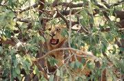 Allmählich entdeckten wir andere Löwen auf den benachbarten Bäumen. Effektiv waren es mehrere weibliche Tiere und ein paar Junge. (Lake Manyara NP)