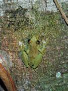 Auf unserer nächtlichen Wanderung zur Tapirleckstelle entdeckten wir nicht nur riesige Bäume mit Pfahlwurzeln, sonder im Schein der Taschenlampen auch diesen kleinen Frosch (Art ?) an einem Baumstamm.