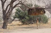 Webervögel bauen nicht nur kunstvolle, kugelförmige Einzelnester sondern die Siedlerweber (Philetairus socius) und Büffelweben (Bubalornis niger) konstruieren auch riesige Gemeinschaftsnester (Bäume können unter dem Gewicht zusammenbrechen !).