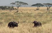 Im Jahre 1990 gab es nur noch ca. 16'000 Kaffernbüffel in der Serengeti. Der Bestand ist leider bis heute relativ stabil auf diesem sehr niedrigen Niveau geblieben (wegen Wilderei ?). Vor allem im Norden des Parks gibt es bis heute keine Büffel mehr.