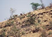 In Afrika gibt es 3 Zebraarten, das Steppenzebra, das Grevy-Zebra und das Bergzebra. Wir wussten, dass es im Daan Viljoen Wildpark eine Kolonie von Bergzebras (Equua zebra) gibt und tatsächlich tauchten sie kurz vor unserer  Abreise an einer Krete auf.