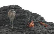 """Das Verbreitungsgebiet des kleinen Lavareihers (Butorides sundevalli), auch """"Galapagosreiher"""" genannt, ist auf die Galapagosinseln begrenzt (= Endemit). Er ernährt sich von kleinen Fischen, Krabben, Eidechsen, Insekten und Zehnfusskrebsen."""