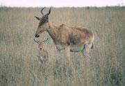 Die Wildtiere können so ihre Wanderungen in und aus dem Park nicht mehr machen. Das führt zu Nahrungsknappheit und zu einem Rückgang der Tiere. Schon 2000 waren die Huftiere nicht bei bester Kondition: Hier eine Kuhantilopenmutter (Alcelaphus buselaphus).