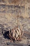 Während es auf dem Waterberg Plateau sehr trocken ist, ist die Vegetation am Fuss des Plateaus üppig und besonders artenreich. Unter anderem sieht man wilde Feigenbäume, Feuerlilien und Korallenbäume, oder, wie hier, Aloen (Aloe asperifolia ?).