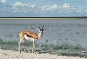 In der Trockenzeit bildet eine grosse weisse, salzige flache Pfanne, ein ehemaliger See, 25 % der Parkfläche. Wenn es aber viel regnet - wie bei unserem Besuch - kann der See wieder entstehen. Im Vordergrund ein Springbock (Antidorcas marsupialis).