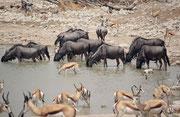 Wir stellten fest, dass sich die Tiere an den Wasserstellen sehr unterschiedlich verhielten: Zebras kurz, vorsichtig und schreckhaft, Gnus (auch nicht sehr lange) und Springböcke aber, wenn möglich, bis zum Bauch ins Wasser (Okaukuejo.