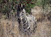 Im Krüger Park ist das Steppenzebra (Equus quagga) durch die Unterart des Burchell's-Zebras (E. q. burchellii) vertreten. Es ist gekennzeichnet durch relativ breite schwarze und weisse Streifen und braune Zwischenstreifen speziell an den Oberschenkeln.