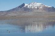 Der Lago Chungara liegt auf 4520 m Höhe und ist somit einer der höchsten Seen der Welt. Es ist schon erstaunlich, auf dieser Meereshöhe Flamingos zu sehen, mit den schneebedeckten Sechstausendern im Hintergrund.