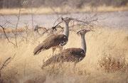 Zwei Koritrappen (Ardeotis kori). Es ist kein Wunder, dass dieser Vogel, der eine Höhe von rund 1,3 Meter und ein Gewicht von 6 bis zu 19 kg erreicht, auch Riesentrappe genannt wird. Effektiv ist er einer der schwersten flugfähigen Vögel.