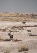 """Schicksalshafte Begegnung in der nachmittäglichen Hitze der Wasserstelle """"Sueda"""": Eine Südafrikanische Oryx (Oryx gazella) mit einem verletzten (gebrochenen ?) linken Hinterbein beobachtet aufmerksam einen Löwen, der in der Nähe durchschreitet."""
