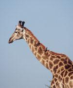Hier reiten ein paar Rotschnabel-Madenhacker (Buphagus erythrorhynchus) auf dem Giraffenhals mit. Sie suchen das Fell der Tiere nach Parasiten ab und entfernen diese (wühlen aber auch in Wunden !). Auch warnen sie ihre Wirtstiere vor herannahenden Räubern