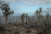 """Hier wandern wir auf Santa Fe auf dem für Touristen markierten Fusspfad durch ein Wäldchen aus Baumopuntien (Opuntia imbricata). Die Früchte dieser """"Feigenkakteen"""" sind die Hauptnahrung der Galapagos Landleguane."""