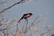 Einer der schönsten Vögel im südlichen Afrika ist der Rotbauchwürger (Lanarius atrococcineus). Sein Lebensraum sind Buschsavannen und lichte Mopanewälder. Er lebt zumeist paarweise und brütet in Dornbüschen. Die Nahrung besteht aus Insekten.
