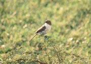Im Pilanesberg NP wurden über 300 Vogelarten registriert. Darunter auch der Marico Fliegenschnäpper (Bradornis mariquensis), eine praktisch endemische Art des südlichen Afrikas. Er frisst Insekten, die er nach einem kleinen Sturzflug am Boden schlägt.