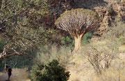 Der Köcherbaum (Aloe dichotoma) ist ein Überlebenskünstler. Seine dicken, fleischigen Blätter und sein voluminöser Stamm sind mit einem wasserspeichernden Zellgewebe ausgestattet, das dem Baum in Trockenzeiten als lebenswichtiges Reservoir dient.