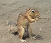 Das Schlichtborstenhörnchen (Xerus rutilus) gehört zu den Allesfressern, die sich sowohl von pflanzlicher und tierischer Nahrung ernähren. Der Hauptteil der Nahrung entfällt jedoch auf pflanzliche Kost (Sämereien, Körner, Blumen und Blüten, Gräser, Blätte
