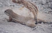 Es wird behauptet, der buschige Schwanz der Borstenhörnchen spende ihnen Schatten. Vielleicht ist das nur Zufall. Dagegen sieht man oft, wie sie den Bauch auf den Boden pressen, leicht hin und her bewegen und so vermutlich Duftmarken setzen.