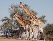 Kapgiraffen (Giraffa cameleopardis giraffa), werden bis zu 6 m hoch. Trotzdem besteht die Halswirbelsäule, wie bei uns, aus bloss 7 Wirbeln. Der Hals wird von nur einer, sehr starken Sehne gehalten, die vom Hinterkopf der Giraffe bis zum Steiss verläuft.