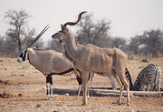 """Im Vordergrund ein prächtiger Grosser Kudu (Tragelaphus strepsiceros) und im Hintergrund eine südliche Oryx (Oryx gazella), welche in Namibia auch """"Gemsbok"""" genannt wird, mit ihren schwarzen Streifen an den Beinen, den Körperseiten, der Kruppe und am Kopf"""